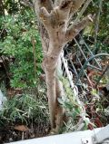 「木の伐採または強剪定と切った枝の処分」についての画像